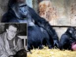 REUNITED:Former London zoo keeper Ron Smith, was reunited with Salome the Gorilla who he hand reared as a baby. She now lives at Bristol Zoo and Ron saw her today for the first time in over 20 years...Salome with her baby , Kunena.